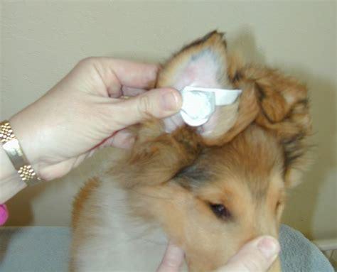 ear taping bracing puppy ears 3