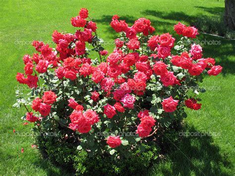 shrub rose clipart clipground