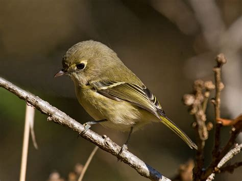 id little green bird kinglet or vireo pacific nw birder