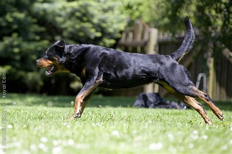 rottweilers with tails rottweiler with a rottweilers