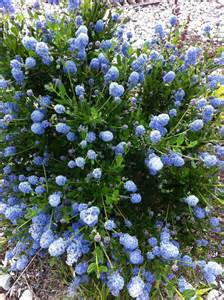 shrub blue flowers blue flowering shrub rainyleaf