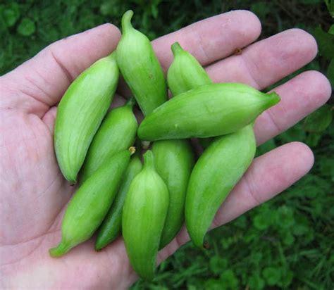 Rare Heirloom Wild Caigua Achocha Cyclanthera pedata   10
