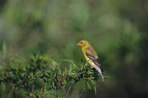 american goldfinch carduelis tristis wildlife journal