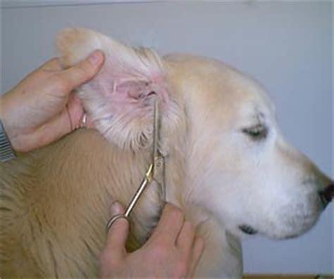 grooming golden retriever ears how to trim hair on golden retriever impression hair style