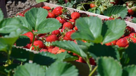 Berry Picking 2 by How To Start A Berry Picking Farm How To Start An Llc