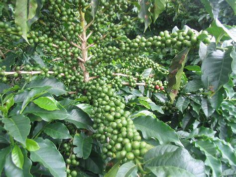 Green Coffee Bean Powder. 100% Pure & Natural ? DennysGroup