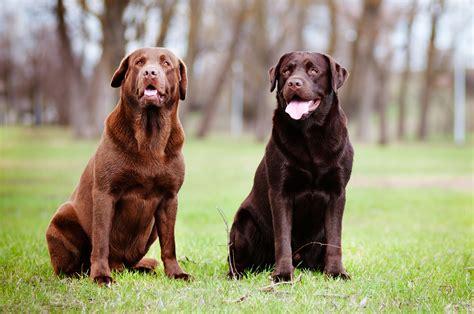 brown lab puppies labrador retriever my rocks
