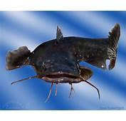 Flathead Catfish Wallpaper  WallpaperSafari