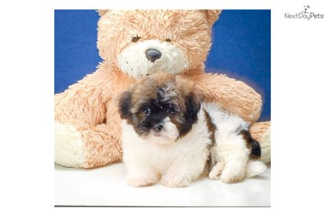 teacup havanese dogs pin teacup havanese puppies sale image search results on