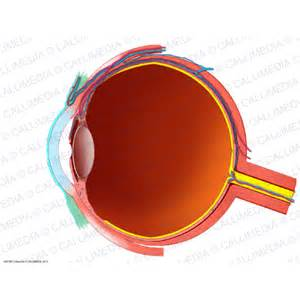 illustration m 233 dicale coupe longitudinale de l oeil