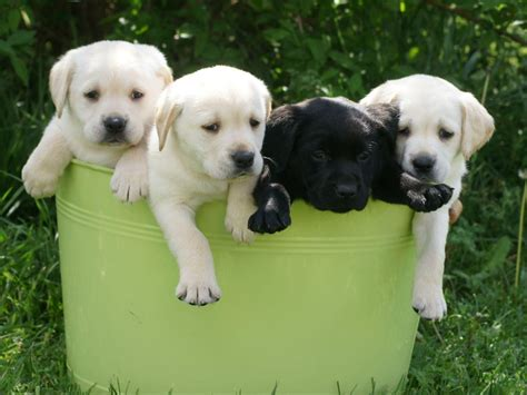 labrador puppies for sale in tn akc puppies for sale in tennessee page 4 akc marketplace
