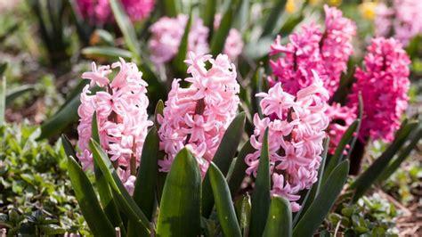 jacinto planta interior jacinto caracter 237 sticas y consejos para su cultivo