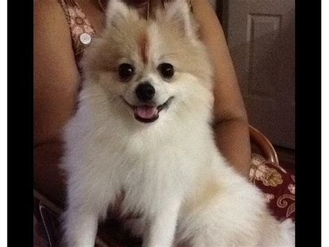 raising a pomeranian home raise pomeranian puppies for adoption phing classifieds