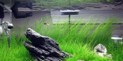 hair grass aquascape proper way to grow dwarf hair grass the aquarium guide