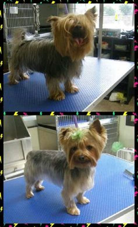 before and after pics of yorkie haircuts yorkie haircuts on pinterest yorkie yorkshire terrier