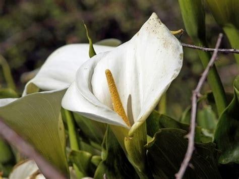 fiori in generale fiori calla fiori di piante