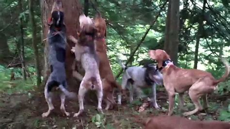 how to a hound to hunt with hounds