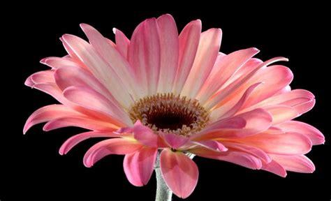 fiore gerbera gerbera fiore e significato idee green