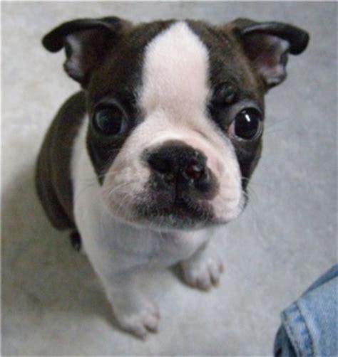 boston terrier puppies breeders boston terrier puppies breeders terriers