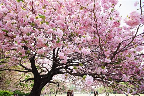 japanese blossom tree readyclickandgo cherry blossom time in japan