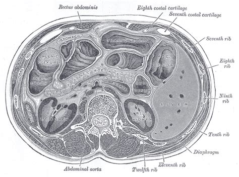 the pancreas human anatomy