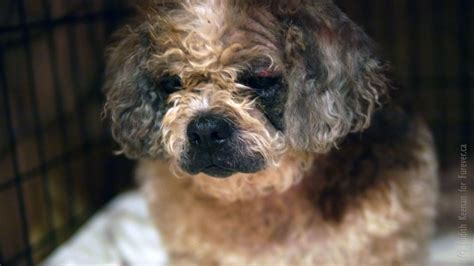 shih tzu weepy shih poo harriette comes through foster care with flying colors beaver creek farm