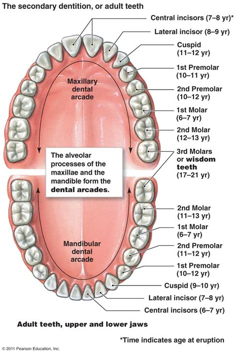 tooth diagram digestive system