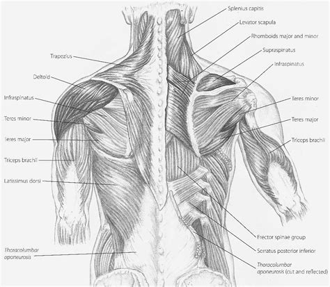 back muscles diagram handcuff muscles reflexology