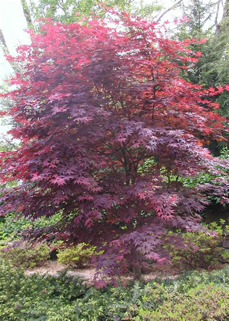 red japanese maple trees grafted trees