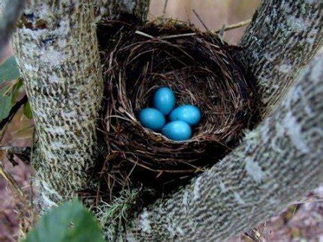 Bird Nest Sarang Burung Mini robin trend burung