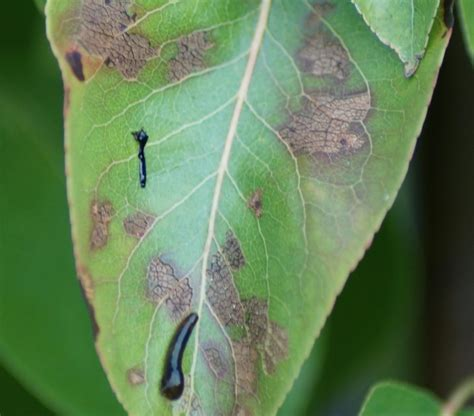 black bugs on tree prevent identify and treat pear tree pests and diseases
