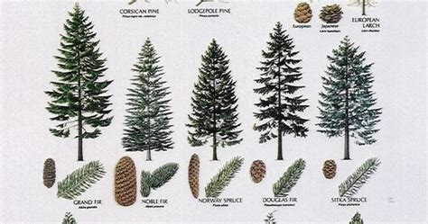 top 28 christmas tree identification christmas trees