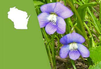 new jersey state flower wood violet home pinterest wisconsin state flower wood violet proflowers blog