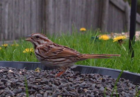 backyard birding song sparrow