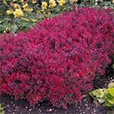 cespugli sempreverdi fioriti sempreverdi da giardino piante da giardino sempreverdi