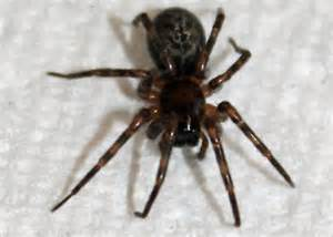 giant house spider oregon house spider oregon 28 images house spider oregon images trapdoor spider what s