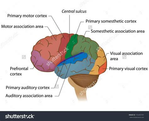 regions diagram labeled areas of the brain medicinebtg