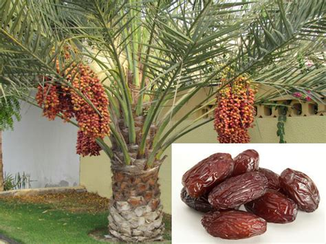 palm tree made of fruit 10 date palm dactylifera fresh palm fruit