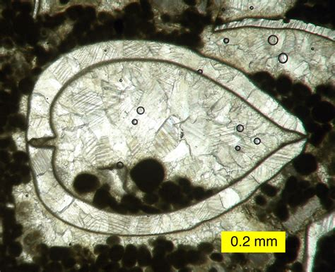 brachiopod thin section honr219d on beyond dinosaurs patterns and enigmas in