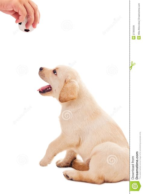 2 month puppy 2 month labrador retriever puppy wants to play royalty free stock images image
