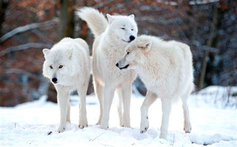 estructura de las manadas de lobos