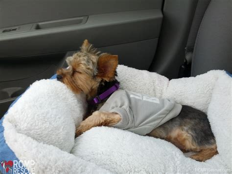 yorkie bloody diarrhea yorkie rescues nj