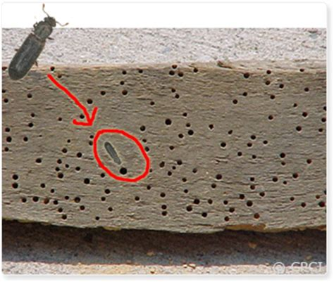 How To Treat Borer In Furniture by Borers In Wood Furniture