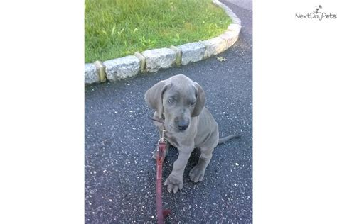 great dane puppies near me great dane puppy for sale near island new york c446d1ff a0c1