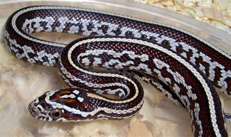 corn snake colors corn snake morphs search snake patterns