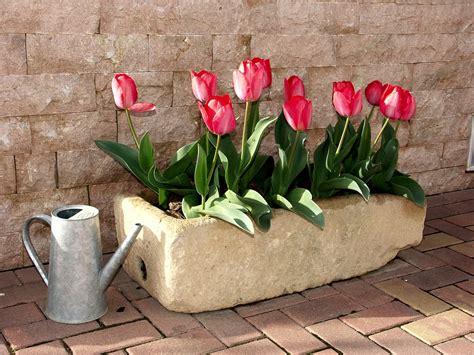 bulbi tulipani in vaso foto gratis tulipani vaso di fiori fiore immagine