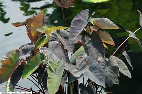 taro leaves plant care taro black magic colocasia esculenta black