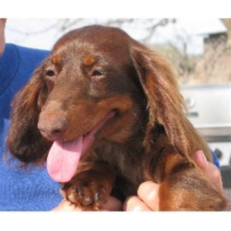 dachshund puppies oregon dachshund doxie breeders in oregon freedoglistings image breeds picture