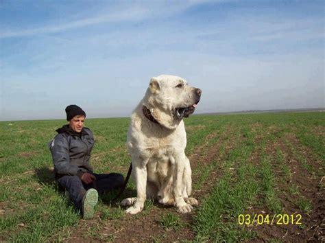turkish kangal puppies yozgatın koyun k 246 peği işte b 246 yledir yozgat turkey sheep dogs