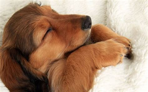 dogs dreaming do dogs american kennel club
